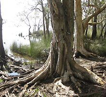 Paperbark Tree roots in the water. by Marilyn Baldey