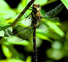 Dragonfly Chilling out by L. Haverkamp