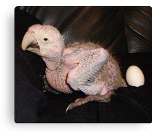 Macaw 4 Weeks Canvas Print
