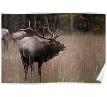 North American Elk - Great Smoky Mountains  Poster