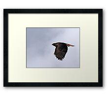 Dark Morph Red-Tailed Hawk  Framed Print