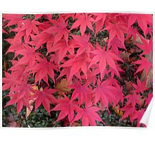 The front yard Japanese maple Poster
