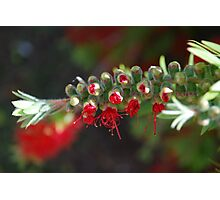 Aussie Red, breaking forth Photographic Print