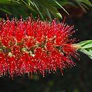 Aussie Red, Fiery red.  by Lozzar Flowers & Art