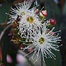 White Eucalyptus Flowers. by Lozzar Flowers & Art