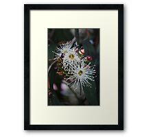 White Eucalyptus Flowers. Framed Print