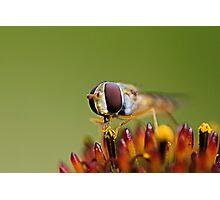 Balancing Hoverfly Photographic Print