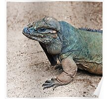 Rhinoceros Iguana Poster