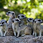 A happy meerkat family - Melbourne zoo by jrizz