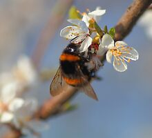 Buff-tailed Bumblebee (Bombus terrestris) On A Spring Blossom by rumisw