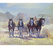 Draught Horses after Max Middleton  Photographic Print