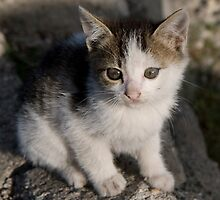 Turkish stray kitten by jrizz