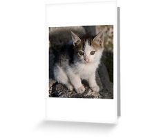 Turkish stray kitten Greeting Card