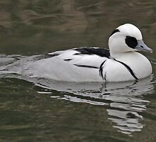 male Smew by Hugh J Griffiths