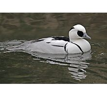 male Smew Photographic Print
