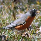 American Robin by Irvin Le Blanc