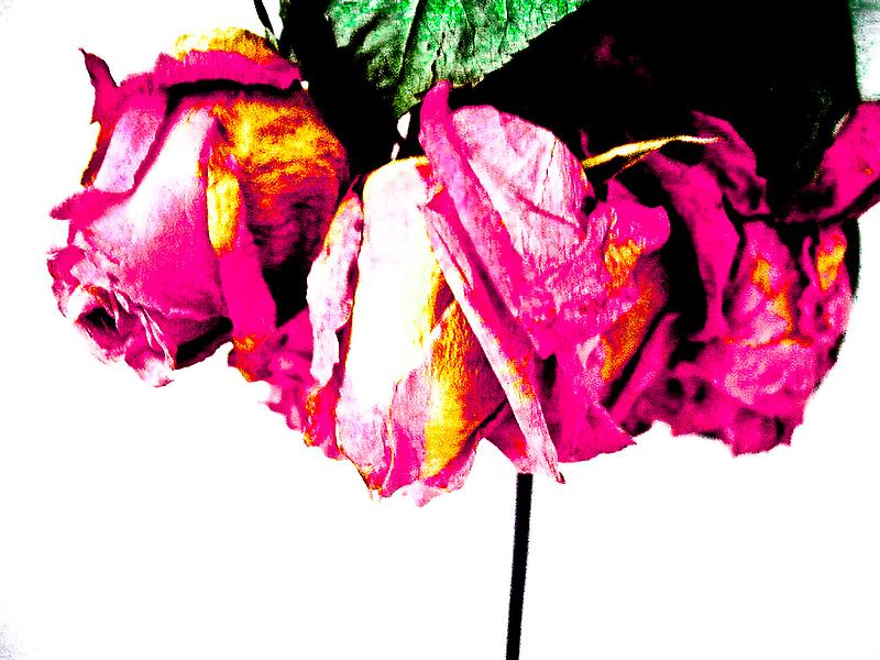 Hung Rose by Daniel Weeks