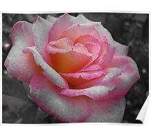 Pink Rose in Houston, TX Poster