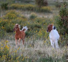 Two foals a Dashing by Chris Snyder