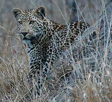 Leopard Mound by hayleychard