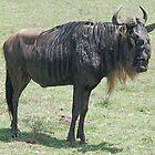 Blue Wildebeest, Ngorongoro Crater, Tanzania, Africa by Adrian Paul