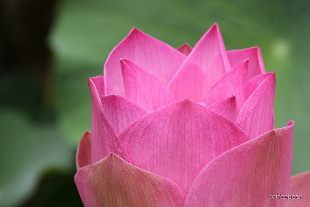Serenity By Lotus  by coffeebean