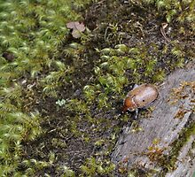 Christmas beetle in the moss by Mandalas