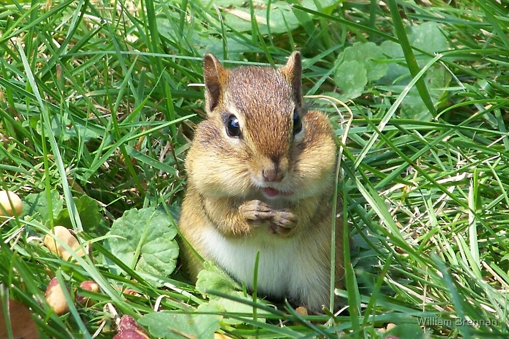Chipmunk stuffing his cheeks. by William Brennan