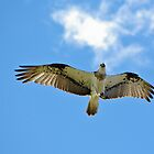Osprey in flight by gillyisme53