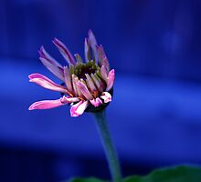 slow bloom zinnia  by cetrone