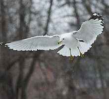 Ring-billed Gull Inflight by Wayne Wood