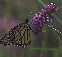 Monarch Butterfly by Melva Vivian