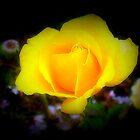 *Australian Gold Rose - Garden* by EdsMum