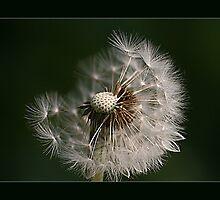 Dandelion by MoGeoPhoto