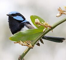 Superb Blue Fairy Wren by Tainia Finlay