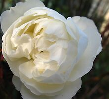 White in half shadow Rose by MarianBendeth