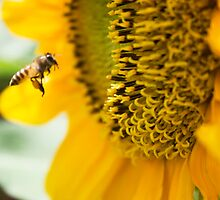 Bee and Sunflower by BengLim