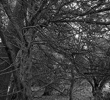 Chillingham Woods by Ryan Davison Crisp