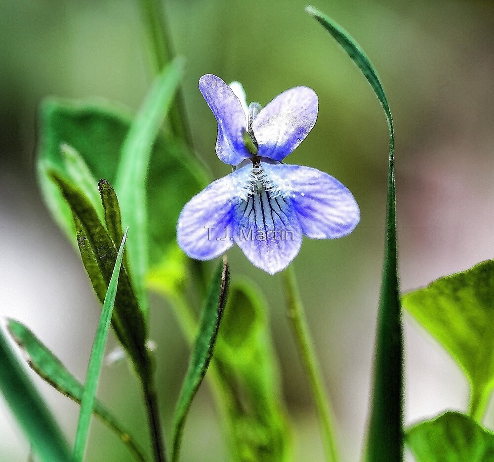 --Sweet Blue Violet in Tall Meadow Grass by T.J. Martin