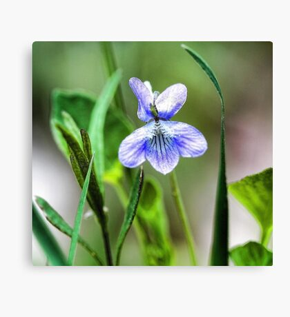 --Sweet Blue Violet in Tall Meadow Grass Canvas Print