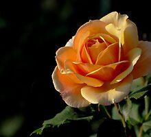 Sherbert Rose by Rodney55