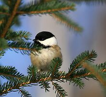 """""""  Black - Capped Chickadee  """" by fortner"""