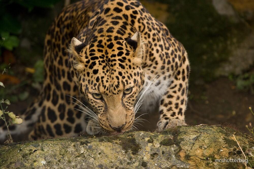 African Leopard by mrshutterbug