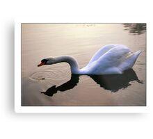 Swan - (Great Amwell Lakes) Metal Print