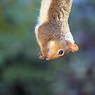 Grey Squirrel by mrshutterbug