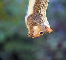Grey Squirrel by mrshutterbug