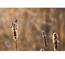 Sparrow and Cat Tails Photographic Print