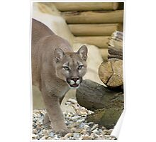 Mountain Lion, Puma, Cougar Poster