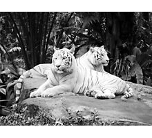 Two  White Siberian Tigers  Photographic Print