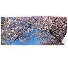 Japanese Cherry Blossom Tree - Washington Poster